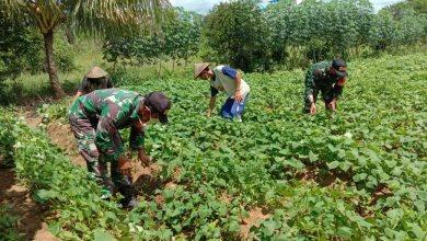 Photo of Kolaborasi Petani Dan Babinsa Tingkatkan Hasil Panen