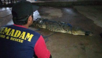Photo of 1 Dari 5 Ekor Buaya Berhasil Dievakuasi Dari Kolam Pemancingan.