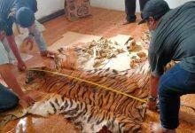 Photo of 3 Lembar Kulit Harimau Sumatera Disita Aparat